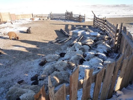 Harsh winter and decreasing foodstock are perishing the livestock in Mongolia. Image courtesy Cambridge Mongolia Development Appeal.