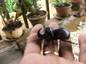 Voatandroka insect. Image courtesy Imahaka